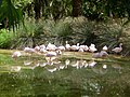 Phoenicopterus minor - flamingo - flamant - 01.jpg