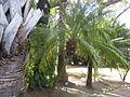 Phoenix roebelenii - Jardin d'Éden.JPG