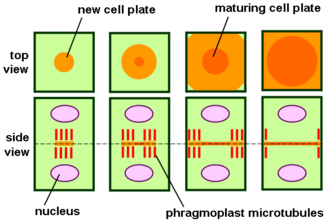 Cell plate - Phragmoplast and cell plate formation in a plant cell during cytokinesis. Left side: Phragmoplast forms and cell plate starts to assemble in the center of the cell. Towards the right: Phragmoplast enlarges in a donut-shape towards the outside of the cell, leaving behind mature cell plate in the center. The cell plate will transform into the new cell wall once cytokinesis is complete.