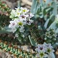 Phyla cuneifolia flora.jpg