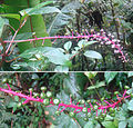 Phytolacca rivinoides, the Hierba de Culebra. (9367402456).jpg
