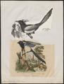 Pica caudata - 1700-1880 - Print - Iconographia Zoologica - Special Collections University of Amsterdam - UBA01 IZ15700187.tif