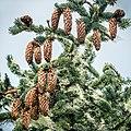 Picea sitchensis, Fourmile Creek, Coos Bay, Oregon 6.jpg