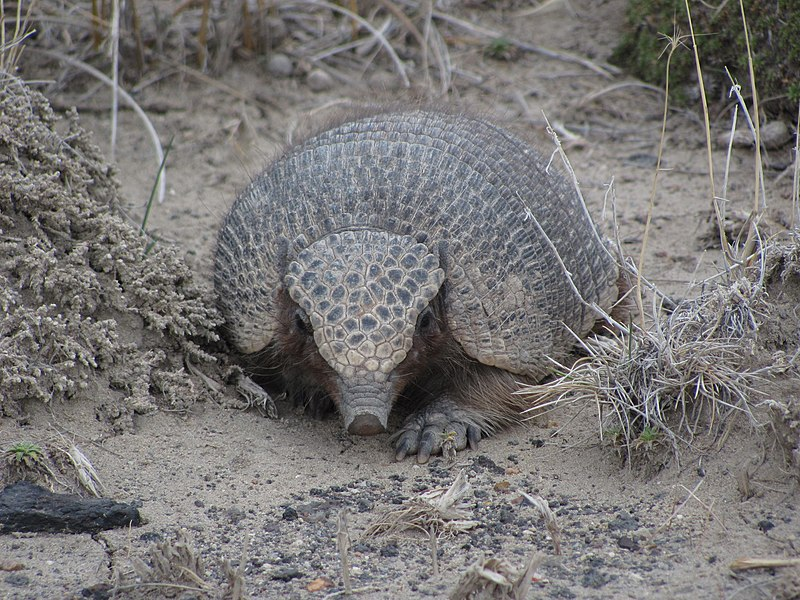 File:Piche (Zaedyus pichiy) in laguna Las Coloradas Chubut.JPG