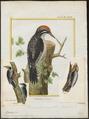 Picoïdes americanus - 1700-1880 - Print - Iconographia Zoologica - Special Collections University of Amsterdam - UBA01 IZ18700031.tif
