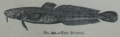 Picture Natural History - No 201 - The Burbot.png