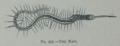 Picture Natural History - No 297 - The Nais.png