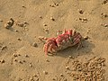 Picture of Red Crabs Digha.jpg