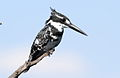 Pied Kingfisher, Ceryle rudis at Pilanesberg National Park, South Africa (15988983001).jpg