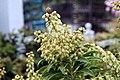 Pieris japonica Sarabande 5zz.jpg