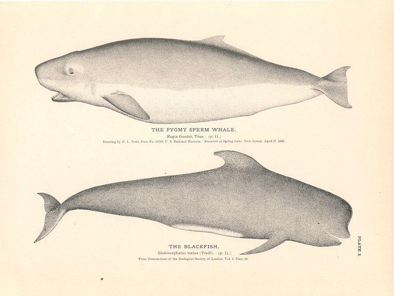 File:Pigmyspermwhale.jpg