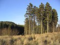 Pine trees and scrub - geograph.org.uk - 328330.jpg