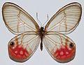 Pink Glasswing (Cithaerias phantoma) (8419187187).jpg