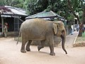 Pinnawale elephant orphanage (7568434432).jpg