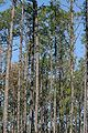 Pinus elliottii Okefenokee 4.jpg