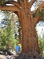 Pinus monticola Kings Canyon National Park.jpg