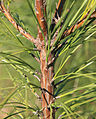 Pinus taeda loblolly pine 3-needle bundles close.jpg