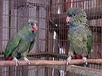Pionus sordidus -two captive-4a