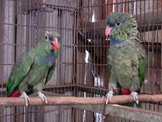 Pionus sordidus -two captive-4a.jpg