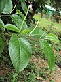 Piper colubrinum 01a.JPG