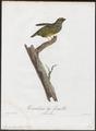 Pipra pareola - 1805 - Print - Iconographia Zoologica - Special Collections University of Amsterdam - UBA01 IZ16600183.tif
