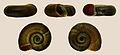 Planorbarius corneus 001.JPG