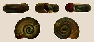 Planorbarius corneus - A shell of Planorbarius corneus
