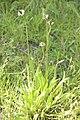 Plantago lanceolata (Plantain lancéolé) - 2.jpg