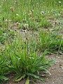 Plantago lanceolata Babka lancetowata 2020-06-07 01.jpg