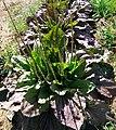 Plantago major 'Rubrifolia'.jpg