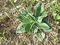 Plantago media sl2.jpg
