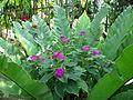 Plantes de Thailande 2.JPG