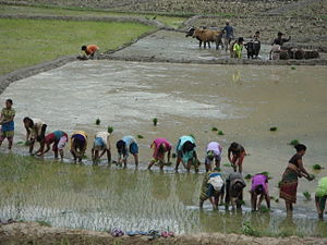 English: Planting Paddy in Ramechhap District ...
