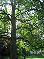 Platanus × acerifolia 01 by Line1.JPG