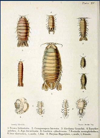 William Elford Leach - Illustration from Adam White's A Popular History of British Crustacea, 1857, showing three genera of crustacea named by Leach as anagrams of Carolina: Cirolana, Conilera and Rocinela