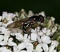 Platycheirus albimanus - ovipositing - Flickr - S. Rae.jpg