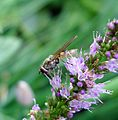 Platycheirus sp. - Flickr - gailhampshire.jpg