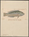 Platyglossus bimaculatus - 1835 - Print - Iconographia Zoologica - Special Collections University of Amsterdam - UBA01 IZ13900078.tif