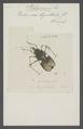 Platymerus - Print - Iconographia Zoologica - Special Collections University of Amsterdam - UBAINV0274 041 03 0005.tif