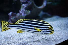 Plectorhinchus vittatus in Tropicarium-Oceanarium Budapest 03.JPG