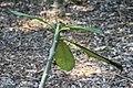 Plumeria Koko Monster 0zz.jpg
