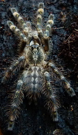 Poecilotheria - WikiVisually