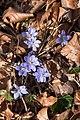 Poertschach Glorietteweg Hepatica nobilis Leberbluemchen 02032016 0813.jpg