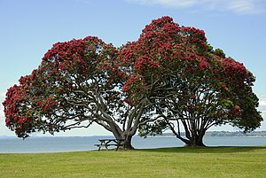 Pōhutukawa Tree taken at Cornwallis Beach , We...