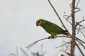 Poicephalus flavifrons -near Bishangari Lodge, Ethiopia-8.jpg