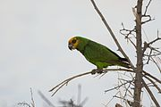 A green parrot with a yellow face