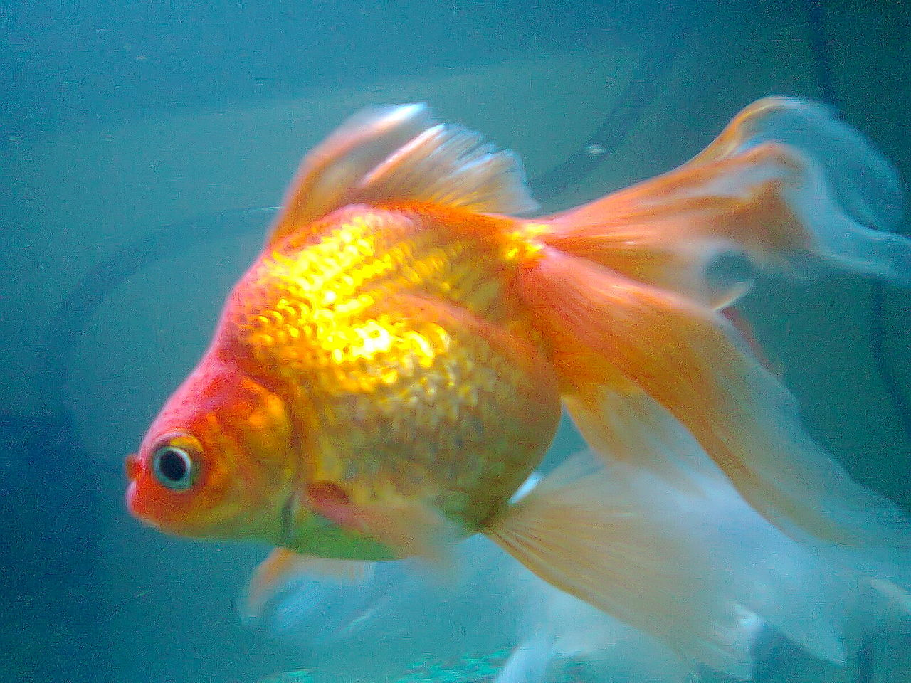 File poisson rouge vari t japonaise jpg wikimedia commons for Poisson rouge japonais