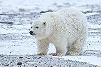 Polar Bear ANWR 5.jpg