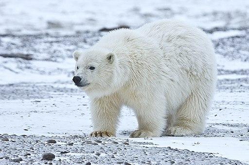 Polar Bear ANWR 5