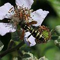 Polistes sp. - Flickr - S. Rae (2).jpg
